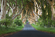 Dark Hedges Prints - Dark Hedges Sun Kissed Print by Anna Stephens