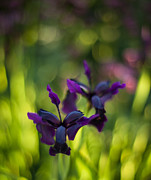 Abstract Iris Prints - Dark Irises Print by Mike Reid