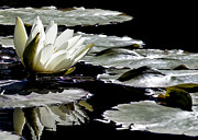 Waiter Metal Prints - Dark Lily Metal Print by Judith Pannozo