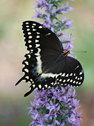 Erickson Framed Prints - Dark Phase Tiger Swallowtail Framed Print by Roy Erickson
