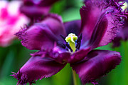 Jenny Rainbow Posters - Dark Purple Parrot Tulip. The Tulips of Holland Poster by Jenny Rainbow