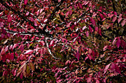 Gardens And Flowers - Dark Red Leaves by Crystal Wightman