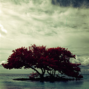 Mark Hannah - Dark red mangrove
