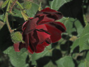 Lorna Hooper - Dark Red Rose