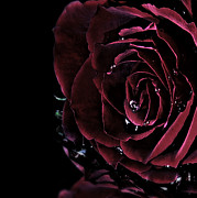 Photographs With Red. Posters - Dark rose 2 Poster by Ann-Charlotte Fjaerevik