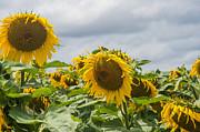 Patricia Hofmeester - Dark sky with sunflowers