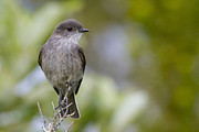 Flycatcher Metal Prints - Darkfaced Ground Tyrant Metal Print by Tim Grams