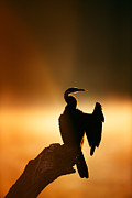 Darter With Misty Sunrise Over Water Print by Johan Swanepoel