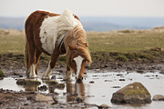 Dartmoor Posters - Dartmoor Pony drinking water from a pond Poster by Ruben Vicente