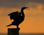 Phalacrocorax Auritus Photos - Dawn Double-crested Cormorant by Tony Beck