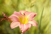 Daylily Photos - Dawn in the Garden by Reflective Moments  Photography and Digital Art Images