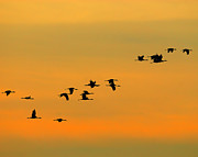 Crane Migration Posters - Dawn Migration Poster by Tony Beck