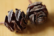 All - Dawn Redwood Pinecones  by Lynn-Marie Gildersleeve