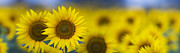 Tim Gainey - Dawn Sunflower Panoramic