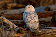 Snowy Owl Prints - Dawns Light Print by Reflective Moments  Photography and Digital Art Images