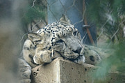 Snow Leopards Prints - Day Dream Print by Ernie Echols