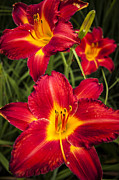 Red Tiger Prints - Day Lilies Print by Adam Romanowicz