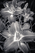 Daylily Framed Prints - Day Lilies in Black and White Framed Print by Adam Romanowicz