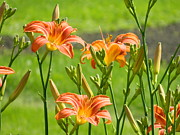 Michele Thomas - Day Lilies in the Sun