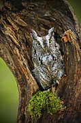 Shelley Myke Framed Prints - Daybreak - Eastern Screech Owl Framed Print by Inspired Nature Photography By Shelley Myke