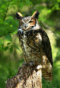 Shelley Myke Prints - Daybreaks Gentle Caress Majestic Great Horned Owl in the Forest  Print by Inspired Nature Photography By Shelley Myke