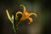 Nature Study Photo Prints - Daylily After Some Rain Print by Alan Roberts