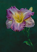ImagesAsArt Photos And Graphics - Daylily Bloom In Magenta...