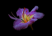 ImagesAsArt Photos And Graphics - Daylily Bloom In The Dark