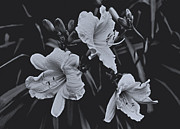 Yard Sale Prints - Daylily Triplets In Moonlight Print by ImagesAsArt Photos And Graphics