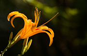 Nature Study Photo Prints - Daylily with Dark Background Print by Alan Roberts