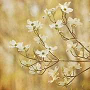 White Flower Photos - Days of Dogwoods by Kim Hojnacki