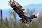 Owl Greeting Card Framed Prints - Daytime Flight Over the Desert Framed Print by Wendi Evans
