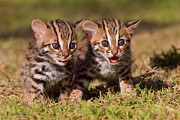 Kittens Prints - Dazed and Confused Print by Ashley Vincent