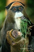 Terry Whittaker - De Brazzas Monkey