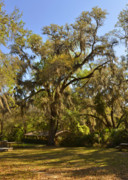 Live Oak Trees Posters - De Leon Springs - Classic Old Florida Poster by Christine Till