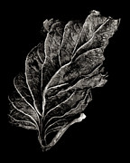 Crinkled Prints - Dead Leaf 12 Print by Robert Woodward