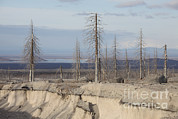 Bare Trees Posters - Dead Trees Beside Erosion Gulley Poster by Richard Roscoe