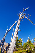 Mt Hood National Forest Prints - Dead White Trees Print by Jess Kraft