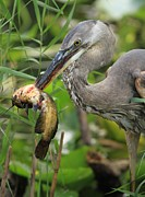 Catfish Photos - Deadly Beak by Adam Jewell