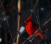 Cardinal In Snow Prints - December Cardinal  Print by John Harding Photography
