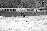 South Carolina Prints - December Snow 007 B-W Print by Andy Lawless