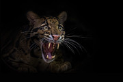 Clouded Leopard Posters - Deceptive Expressions Poster by Ashley Vincent