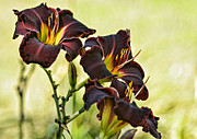 Flower Still Life Prints Prints - Deep Burgundy Lilies Print by Carol Sawyer