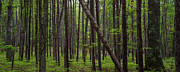 Michigan Art - Deep Forest by Steve Gadomski