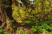 Interior Scene Metal Prints - Deep into the Hoh Rain Forest Metal Print by Rich Leighton