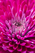 Daphne Sampson - Deep Pink Chrysanthemum