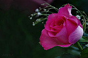 Invitations Photos - Deep Pink Rose by Daraious Billimoria