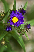 Aster  Acrylic Prints - Deep Purple Aster Acrylic Print by Christina Rollo