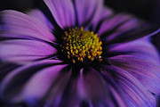 Flower Digital Art - Deep Purple Daisy by Cindy Boyd