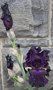 Purple. Iris. Buds Photos - Deep Purple Iris by Alfredia Mealing